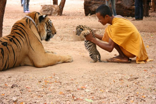 13-11-22-Tigre
