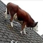 Oh la vache